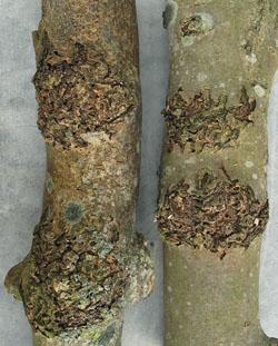 Misdannelser på stammen af ask